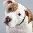 Puppy american bulldog white with red spots isolated against gre — Stock Photo