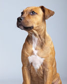 Adorable puppy boxer dog isolated against grey background. Studi — Stock Photo