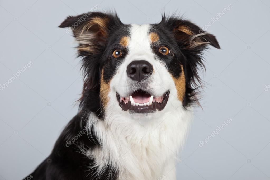 Bordercollie hond zwart bruin en wit geïsoleerd tegen ...