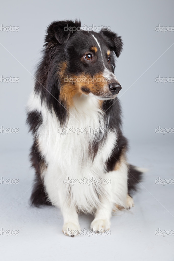 Brown And White Dog Border collie dog black brown