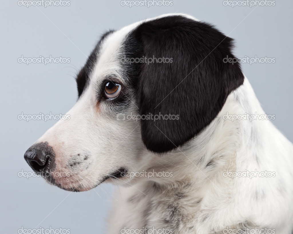 Mixed breed black and white spotted dog isolated against ...