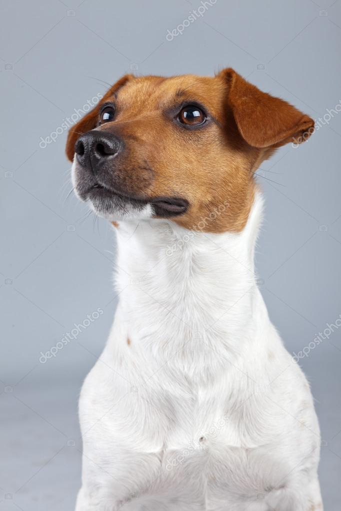 Brown And White Dog Jack russell terrier dog white