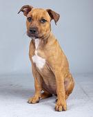Adorable puppy boxer dog isolated against grey background. Studi — Stock Photo