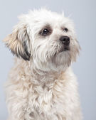 White boomer dog isolated against grey background. Studio portra — Stock Photo