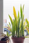 Decorazione di interni casa pianta sansevieria davanti alla finestra. — Foto Stock