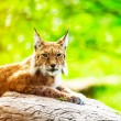 Lynx in zoo lying on trunk. Blurred green background. — Stock Photo