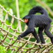 Red faced spider monkey in zoo walking on ropes. — Photo