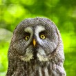 图库照片: Close-up of great grey owl with yellow eyes in zoo. Blurred gree