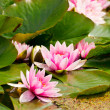 Pink flower of water lily in pond. — Stok fotoğraf