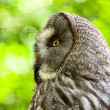 Foto Stock: Close-up of great grey owl with yellow eyes in zoo. Blurred gree