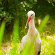 Stock Photo: Stork in zoo walking in field of grass.