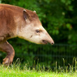 South american tapir in zoo walking in grass. — Stock Photo