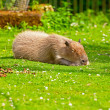 Resting capybara in zoo lying on grass. — Stock Photo #33041145