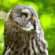 Close-up of great grey owl with yellow eyes in zoo. Blurred gree — Stock fotografie
