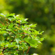 Stock Photo: Close-up of green leafs of a tree. Foliage. Blurred green backgr