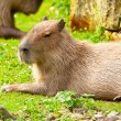 Resting capybara in zoo lying on grass. — Stock Photo