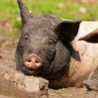 Pig in mud puddle. — Stock Photo