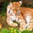 Stock Photo: Lynx sleeping in grass.