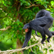 Red faced spider monkey in zoo walking on ropes. — Stock Photo #33041305