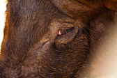 Close-up of the eye of a pig. — Stock Photo
