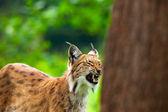 Yorgun esneme lynx dişlerini gösteren hayvanat bahçesi. — Stok fotoğraf