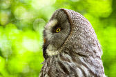 Close-up of great grey owl with yellow eyes in zoo. Blurred gree — Stock Photo