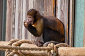 Single woolly monkey in zoo eating a carrot out of his hands. — Stock Photo