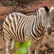 Stock Photo: Zebra standing alone in zoo.