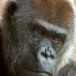 Close-up of the head of a western lowland gorilla in the zoo. — Stock Photo #33140541