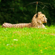 One lazy cheetahs resting in the grass in the zoo. — Stock Photo