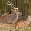 Stock Photo: Two big kudus in the zoo. Resting.
