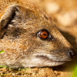 Close-up of yellow mongoose in zoo. — Stock Photo #33140649