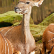 Kudu in the zoo. — Stock Photo #33140721