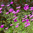 Wild little pink flowers. — Stock Photo