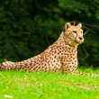 One lazy cheetahs resting in the grass in the zoo. — Zdjęcie stockowe