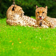 Two lazy cheetahs resting in the grass in the zoo. — Stock Photo