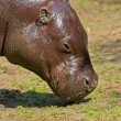 Close-up of the head of a pygmy hippopotamus in zoo. — Stock Photo