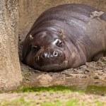 One lazy pygmy Hippopotamus lying in mud in zoo. — Stock Photo