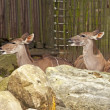 Two big kudus in the zoo. Resting. — Stock Photo