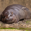 One lazy pygmy Hippopotamus lying in mud in zoo. — Stock Photo #33141343