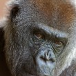 Stock Photo: Close-up of the head of a western lowland gorilla in the zoo.