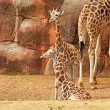 Young rothschild giraffes in zoo. — Stock Photo