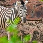 Zebra standing alone in zoo. — Stock Photo