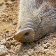 Stock Photo: Close-up of snout of bush pig in zoo.