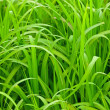 Close-up of pattern of long green grass. — Stock Photo