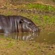 Pygmy hippopotamus in a puddle of water in zoo. — Stock Photo #33141645
