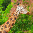 Rothschild giraffe in front of green trees in zoo. Head and long — Stock Photo