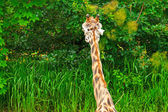Rothschild giraffe eating from trees in zoo. Head and long neck. — Stock Photo