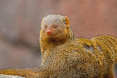 Dwarf mongoose in the zoo. Blurred background. — Foto de Stock