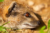 Close-up of a yellow mongoose in zoo. — Stock Photo